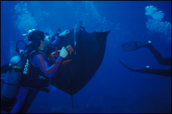 Figure 19.	Divers riding a manta ray. This activity is strongly discouraged, as it can put both the diver and manta ray at risk of being injured. Photo: Dick Zingula