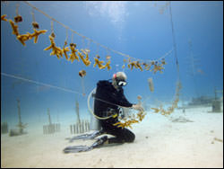 Figure 38. A diver performs regular maintenance on Acropora cervicornis fragments at a permitted coral nursery funded by the American Reinvestment and Recovery Act. (Photo: Ken Nedimyer)