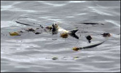 Figure 11. In the open waters of the sanctuary, kelp rafts form an important floating habitat for congregations of fish, pinnipeds and birds. (Photo: P. Pyle)