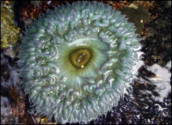 Figure 12. A fully opened green anemone, Anthopleura sola, in a tidepool in Mussel Flat on Southeast Farallon Island. (Photo: J. Roletto, GFNMS)