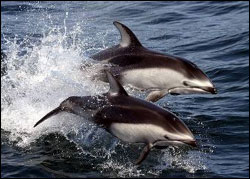 Figure 16. Pacific white-sided dolphins can often be seen by the thousands in sanctuary waters. (Photo: NOAA NMFS Southwest Fisheries Science Center)