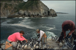 Figure 49. Biologists from the U.S. Fish and Wildlife Service work to reestablish a colony of Common Murres in a nearshore area of the Monterey Bay sanctuary. This colony of murres was depleted by oil spills and gillnetting in the 1980s, but recovery efforts are showing positive results. (Photo: J. Roletto)