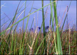Figure 51. Invasive cordgrass, Spartina alterniflora, is currently under control and possibly eradicated in Bolinas Lagoon. (Photo: National Aquarium in Baltimore)