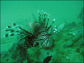 Figure 25. One of the two lionfish that were observed for the first time in the sanctuary in fall 2007. Photo: Matt Kendall/NOAA