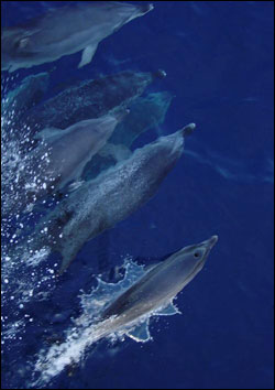 Figure 10. Atlantic spotted dolphins are relatively small and live in both coastal and offshore waters, feeding primarily on fish and squid. Photo: Greg McFall/NOAA