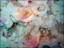 Figure 11. Ancient scallop bed at Gray s Reef with shells embedded in sediments that were deposited 30,000 years ago. Photo: Greg McFall/NOAA