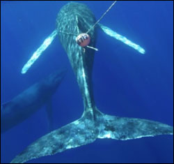 Figure 12. Humpback whale entangled in fishing gear believed to be used for trapping crabs. This suggests the whale dragged the gear from Alaska to Hawai'i. The animal is emaciated, collapsing inward, and is an unhealthy light gray rather than the usual dark gray to black color. (Photo: HIHWNMS / NOAA MMHSRP Permit #932-1489)