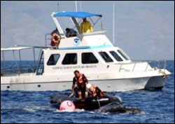 Figure 21. Efforts to disentangle a humpback whale in Hawaiian waters on Feb. 12, 2005. Rescuers position themselves to remove entangled gear from the whale. (Photo: HIHWNMS / NOAA MMHSRP Permit #932-1489)