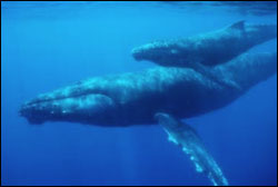 Figure 6. Mother and calf. (Photo: D. Perrine, Hawai�i Whale Research Foundation, NOAA Fisheries Permit #882)