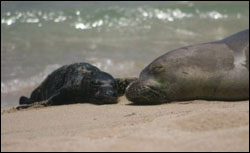 Figure 7. Female Hawaiian monk seal and her pup. (Photo: P. Doyle, HIHWNMS volunteer)