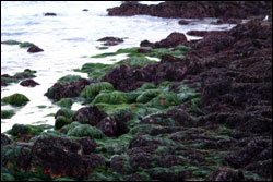 Figure 11.  Surfgrass and algae-covered rocks at Pt. Pinos. Photo: C. King, NOAA/MBNMS/SIMoN