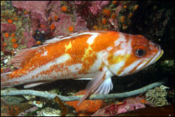 Figure 13.  A copper rockfish on the rocky reef at Whaler's Cove, Point Lobos. Photo: C. King, NOAA/MBNMS/SIMoN