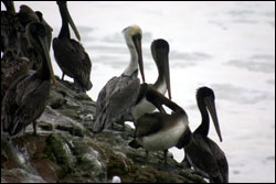 Figure 14.  Adult and juvenile brown pelicans roost at Natural Bridges State Beach. Photo: J. Pederson, NOAA/MBNMS/SIMoN