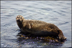 Figure 15.  A harbor seal hauls out onto a rock along Cannery Row. Photo: S. Lonhart, NOAA/MBNMS/SIMoN