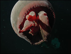 Figure 9.  This Big Red Jelly (Tiburonia granrojo), a newly named and described species, was found slightly above the Davidson Seamount crest at 1,363 meters. Photo:  NOAA/MBARI
