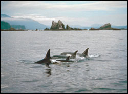 Figure 10. Most killer whales (or orca) in the sanctuary belong to resident groups that frequent northern Puget Sound and the Strait of Georgia. Occasionally, wide-ranging oceanic groups (transient orca and offshore orca) visit the region