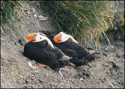 Figure 11. The distinctive Tufted Puffin is a familiar seabird that nests in burrows on remote islands far from any mammalian predators.