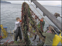 Figure 34. Derelict gear is removed from the ocean floor. This net contained numerous dead animals, including seabirds, fish, harbor seals, harbor porpoise and a California sea lion. (Photo: Olympic Coast sanctuary)