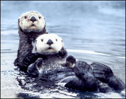 Figure 5.  Sea otters in the Northeast Pacific were hunted nearly to extinction in the 18th and 19th centuries for their fur. Because of reintroduction efforts in the 1970s to the Pacific Northwest, they are making a comeback along the Olympic coast. (Photo: C. Edward Bowlby)