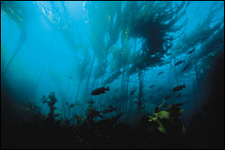 Figure 8. Within the nearshore environment, kelp forests are vital habitat for many species of fish, invertebrates, seabirds and mammals.