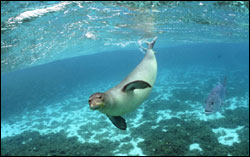 Figure 7. The Hawaiian monk seal is the second most endangered marine mammal in the world, after its close relative, the Mediterranean monk seal. (Photo: James Watt)