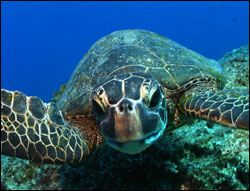 Figure 8. Green sea turtles are found around most of the islands in the Hawaiian Archipelago.  Their primary nesting site is at French Frigate Shoals.  (Photo: James Watt)
