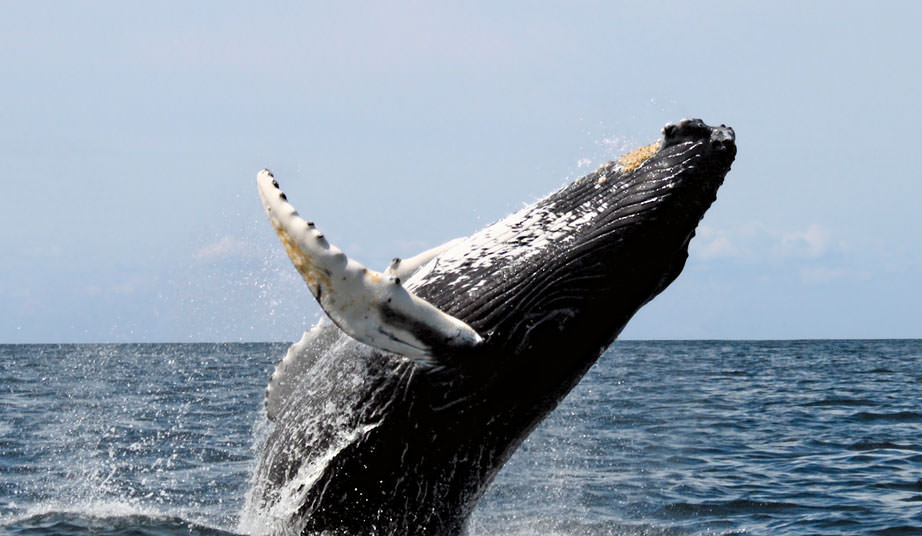 Photo of a whale breaching