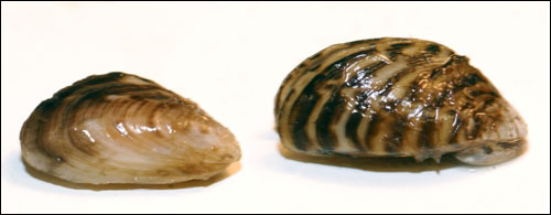 Figure 35. Invasive quagga (left) and zebra mussels (right) were introduced into the Great Lakes in the late 1980s (Michigan SeaGrant).