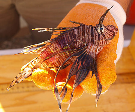 Invasive species at florida keys national marine sanctuary for Invasive fish in florida