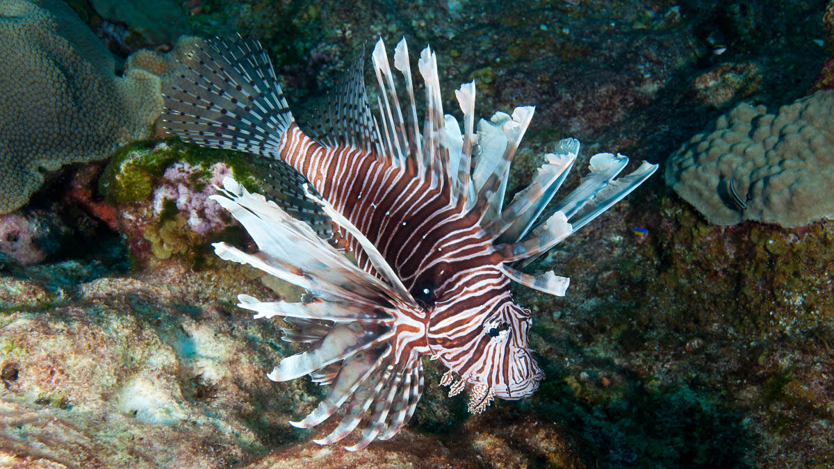 the lionfish an invasive species The lionfish is one of the most destructive invasive species in the marine environment, with large populations from north carolina down through the caribbean to south america.