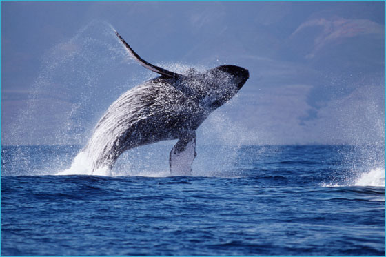 Humpback whale (Photo by NOAA)