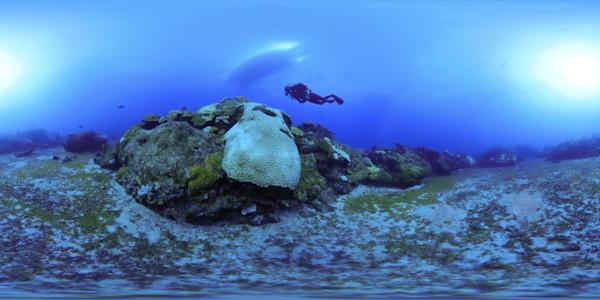 Bleached brain coral