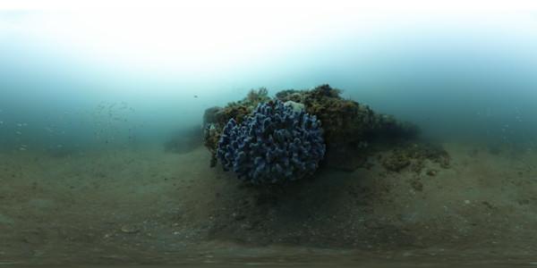 large purple sponge (Dysida fragilis)