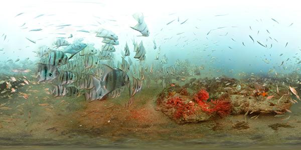 A school of spade fish
