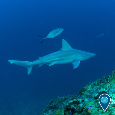 fish swimming by a sanbar shark