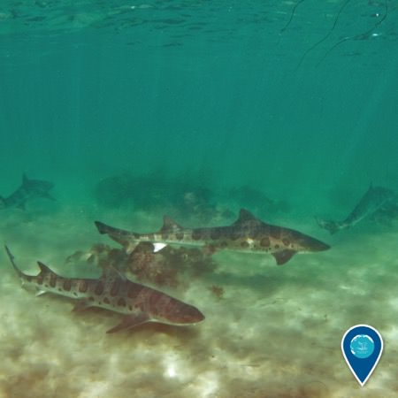 a shiver (group) of leopard sharks swimming