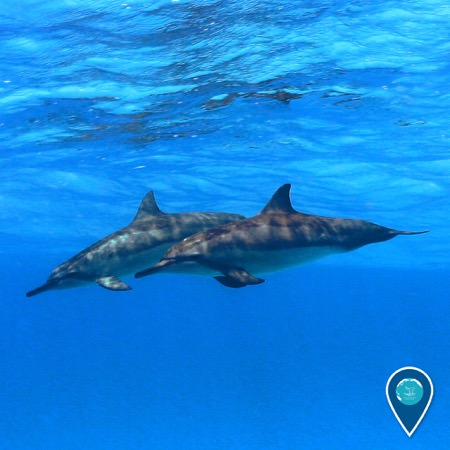 two hawaiin spinner dolphins swimming together