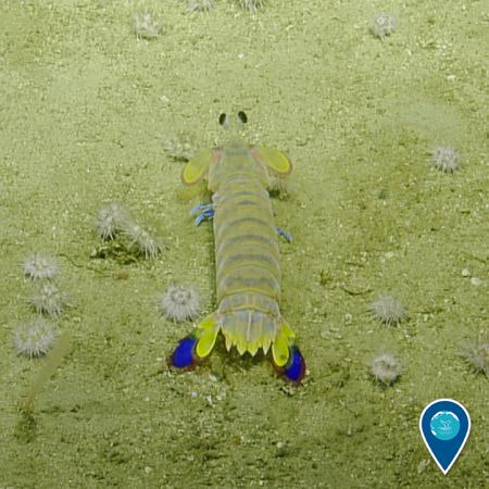 California mantis shrimp