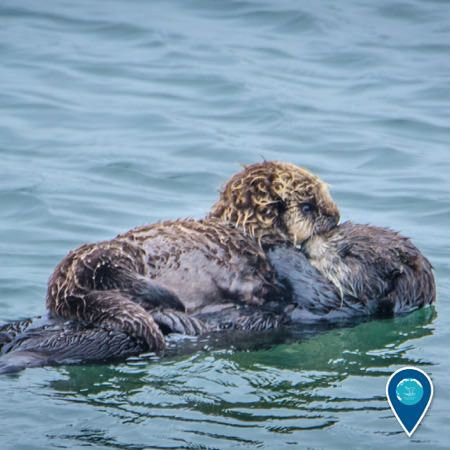 sea otter and cub swimming
