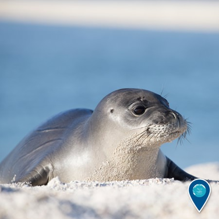 hawaiian monk seal on the beach