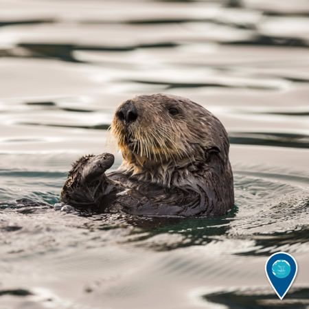 sea otter at the surface of the water