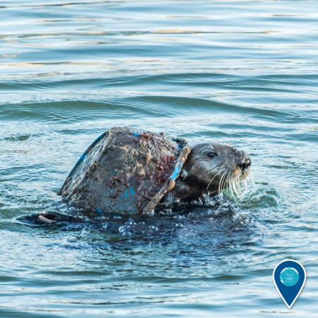 sea otter playing with marine debris