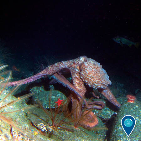 a giant pacific octopus among rocks