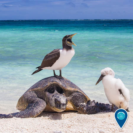 masked booby standing on a sea turtle's shell