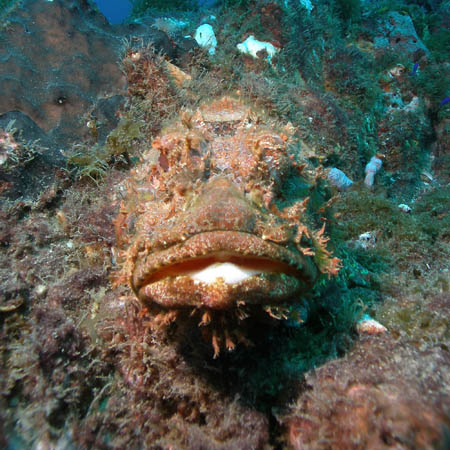 scorpionfish blending into the reef