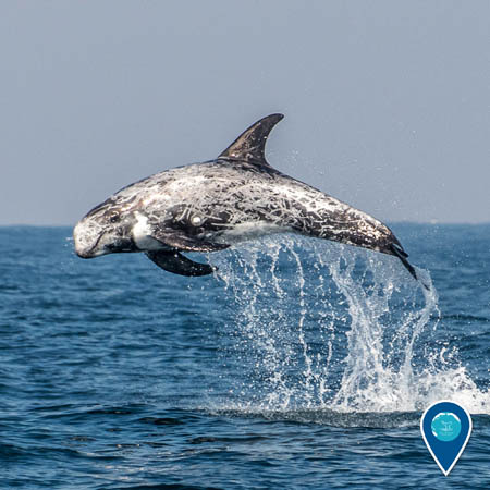 Risso's dolphin leaping through the waves