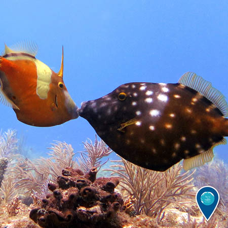 two whitespotted filefish