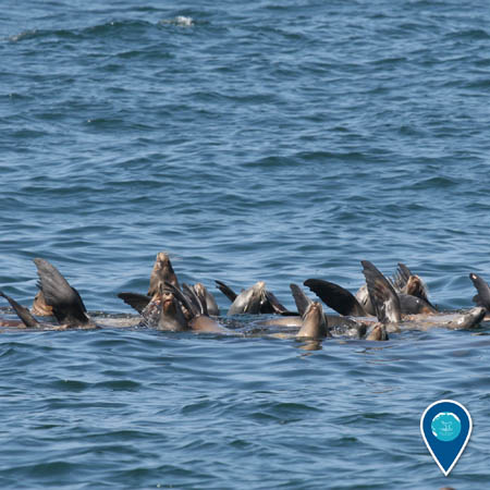 group of sea lions cooling off in the water