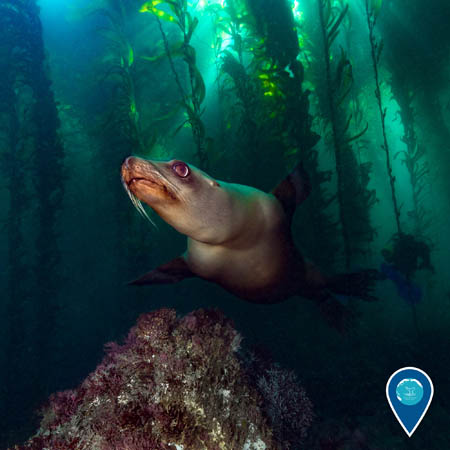 sea lion swimming throuh a kelp forest