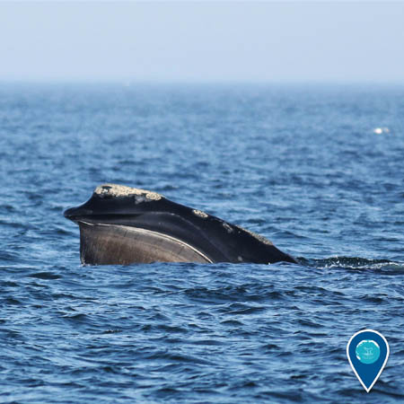 North Atlantic right whales swimming